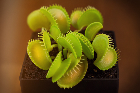 Dionaea seedling from 2015 - Instagram
