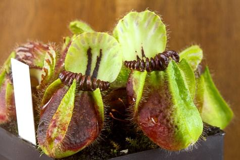 Zu Cephalotus f. German Giant / True Giant