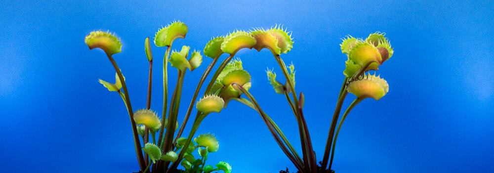 Carnivorous Plants - How to Watering and Fertilize Carnivorous Plants