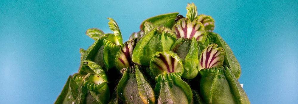 Carnivorous Plants - How to Feed and Winter Dormany